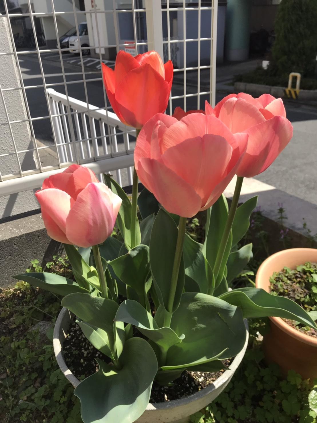 サロンのお庭も春満開(シン・セシア)