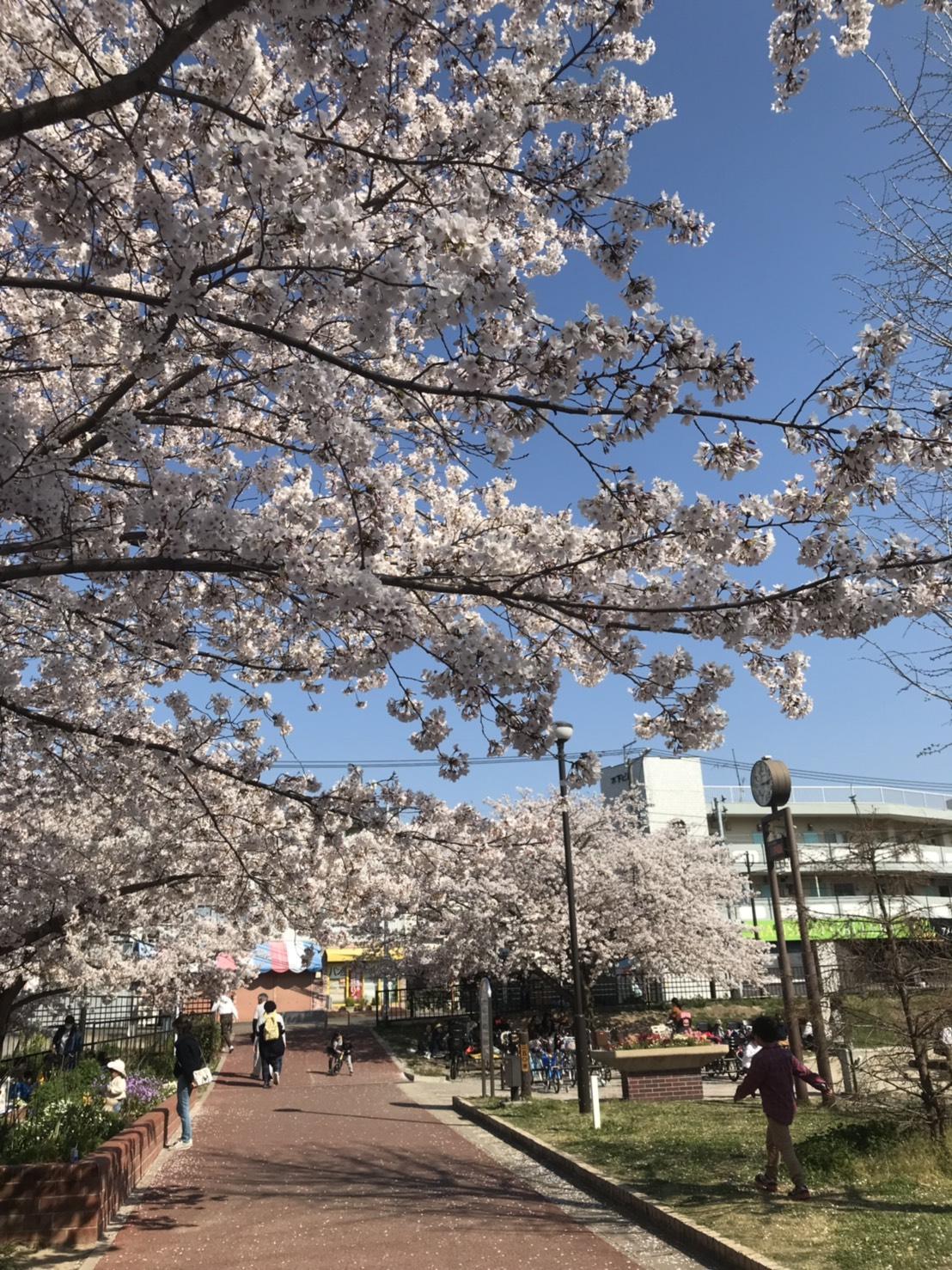 桜満開(シン・セシア)