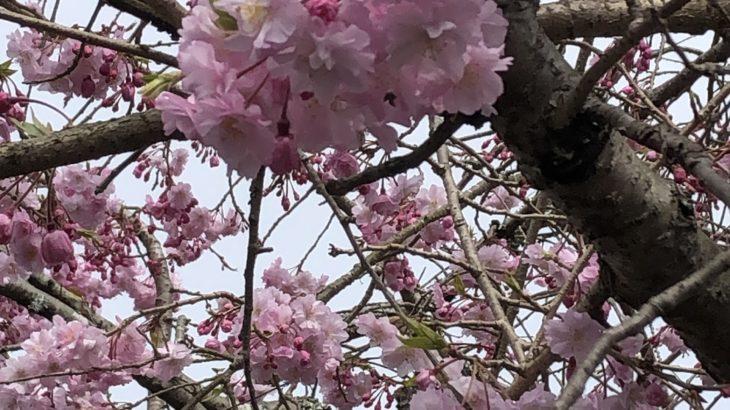 福岡は桜が満開に(シン・セシア)