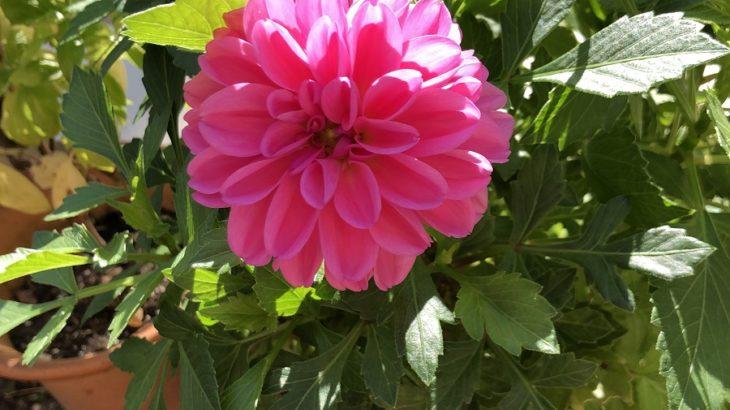 美しいピンク色の花(シン・セシア)