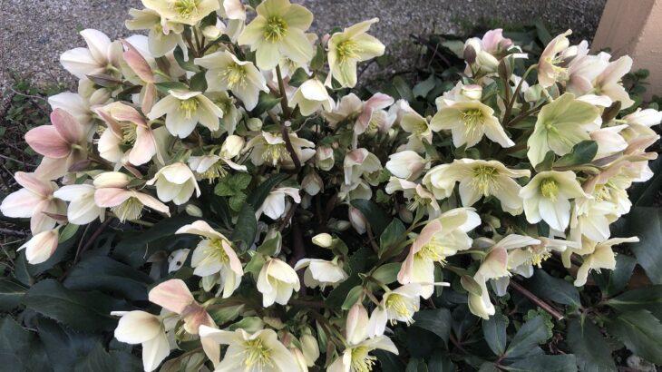 サロンの庭の花達(シン・セシア)