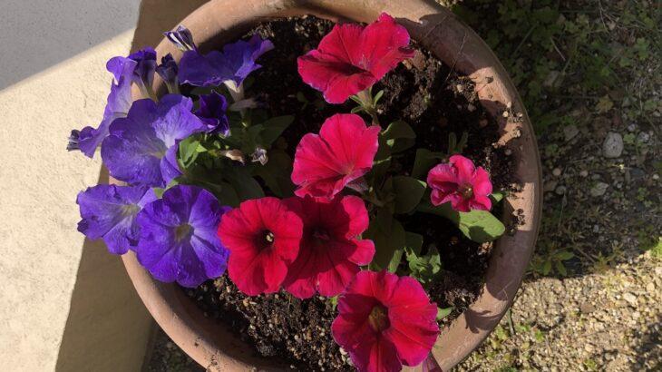 春らしくお花達が咲いています(シン・セシア)